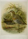 Keulemans, John Gerrard, 1842-1912 :Swamp rail. Land rail / J. G. Keulemans delt. & lith. [Plate XXXIII. 1888].