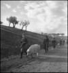 Italian women refugees from the battle area leading their livestock, Italy, World War II - Photograph taken by George Kaye