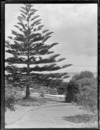 A general view down the path from a Stacey and Wass house to a Norfolk Pine tree and road beyond, Herne Bay, Auckland