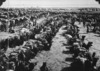Photograph of a camel convoy loading frozen mutton