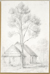 [Swainson, William] 1789-1855 :Native laurel ab[out] 35 ft high [ca 1845]