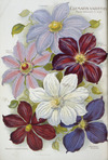 Nairn and Sons, Lincoln Road, Christchurch, N.Z. :Clematis varieties. 1906.