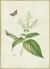 Abbot, John, 1751-1840 :Maple moth. [ca 1820]