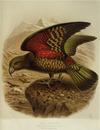 Keulemans, John Gerrard 1842-1912 :Kea parrot. Nestor notabilis. (One-half natural size). / J. G. Keulemans delt. & lith. [Plate XVIII. 1888].