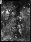 View of an old puriri tree