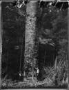 Men cutting down a kauri tree, Northland Region