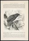 Mutzel, Gustav, 1839-1893 :Hopflappenvogel (Creadion acutirostris), 1/3 naturl. Grosse. R Illner, X.A. Kragenvogel. Hopflappenvogel. [Page] 425 [Leipzig? 1884-1887?]