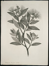 Parkinson, Sydney, 1745-1771: Metrosideros tomentosa. A. Rich. [Metrosideros excelsa (Myrtaceae) - Plate 445]