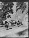 Cows on road, Woolleys Bay