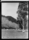 Sheep grazing, Wanganui
