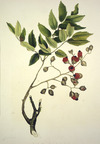King, Martha 1803?-1897 :The titoki. A forest-tree. Drawn by Miss King. [1842] Day & Haghe. London, Smith, Elder [1845]