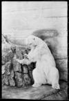 Polar bear at Wellington Zoo