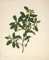 Featon, Sarah Ann, 1847 or 1848-1927 :Kowhiwhi? Pittosporum tenuifolium [Kohuhu]. f.19. H.N.Z. flora. [ca 1890]