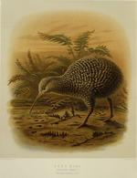 Keulemans, John Gerrard, 1842-1912 :Grey kiwi. Apteryx oweni. (two-fifths natural size). / J. G. Keulemans delt. & lith.  [Plate XLVIII 1888].