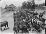 Horses drinking water at Louvencourt, France, during World War I