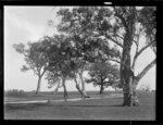 Australian gum trees (eucalypts)