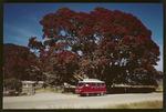 Te Waha O Rerekohu, pohutukawa tree at Te Araroa