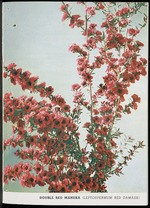 Duncan & Davies Ltd :Double red manuka (Leptospermum Red Damask) [1960]