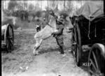 Moses, the donkey mascot of the New Zealand Army Service Company, in a playful mood