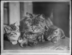 Cat and kittens, probably Christchurch district