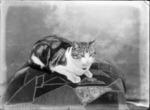Studio portrait of a tabby cat sitting on a cushion, Christchurch