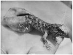 Tuatara hatching from egg