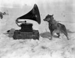 Dog Chris, listening to the gramophone, Antarctica