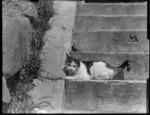 Cat on steps, Royal Terrace, Kew, Dunedin