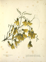 Harris, Emily Cumming, 1837?-1925 :Sophora tetraptera (kowhai). A small tree growing in North and South Islands. It is thickly covered in early spring with golden yellow flowers. The wood is exceedingly hard. [1899?]