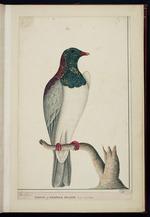E-327-f-001: Raper, George  ca 1769-1797 :Pigeon of Norfolk Island / Geo Raper 1790