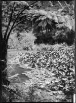 Lily pond at Pukekura Park, New Plymouth