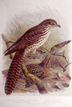 Keulemans, John Gerrard  1842-1912 :Long-tailed cuckoo (adult and young). Eudynamis taitensis. Grey warbler. Gerygone flaviventris (Three-fourths natural size). / J. G. Keulemans delt. & lith.  [Plate XIV, 1888].