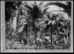 Nikau palms in the Wairarapa