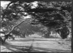 Avenue of trees in Parnell, Auckland