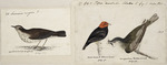 [Tempsky, Gustavus Ferdinand von], 1828-1868:22 Securius major ? Spotted breast wagtail. Page 367. 17. Figure 1. Pipra mentalis Sclater [male] fig 2. Helmitheros. Red head black bird page 92. Migratory green bird page 92. [185-]