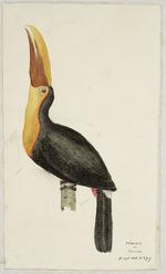 [Tempsky, Gustavus Ferdinand von], 1828-1868:Piacos or Toucan. [185-]