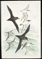 Power, Elaine, 1931- :[Petrels and prions. 1990]