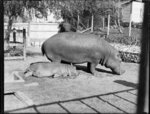 Adult and baby hippopotamus in a cage
