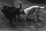 3 dogs at dusk, Titirangi 1973.tif