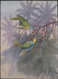 [Lorikeets (Geoffroyus heteroclitus)] Ellis Rowan