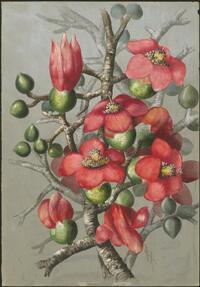 Bombax ceiba L. syn. Bombax malabaricum, family Malvaceae, New Guinea and Thursday Island, 1916? Ellis Rowan