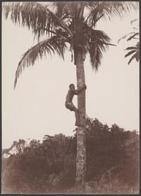 Boy climbing coconut tree in Maewo, New Hebrides, 1906 / J.W. Beattie