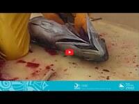 COASTAL FISHERIES TRAINING | 2.1 - Onboard handling of sashimi grade tuna