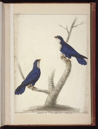 Stone, Sarah, 1760?-1844: Parokets of Oteheate Natural Size. Sarah Stone [Blue lorikeets (Vini peruviana)]