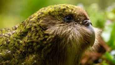 Image: Meet kākāpō - NZ bird of the Year 2020