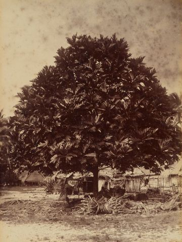 Bread fruit tree Nui. From the album: Views in the Pacific Islands