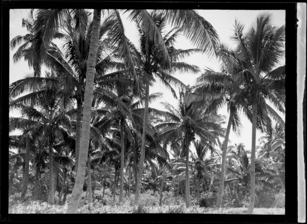 View of coconut palm trees, Tonga