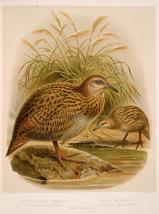 Keulemans, John Gerrard, 1842-1912 :South-Island woodhen (ocydromus australis). Buff woodhen (ocydromus brachypterus) / J. G. Keulemans delt. & lith. [Plate XXXV. 1888].