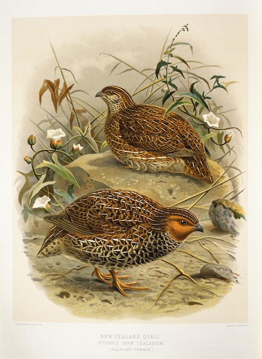 Keulemans, John Gerrard 1842-1912 :New Zealand quail. Coturnix novae zelandiae (Male and female) / J. G. Keulemans delt. & lith. [Plate 23, 1888].