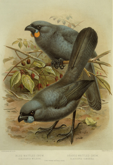 Keulemans, John Gerrard 1842-1912 :Blue-wattled crow, Glaucopis wilsoni. Orange-wattled crow, Glaucopis cinerea. (Two-thirds natural size). / J. G. Keulemans delt. & lith. [Plate I. 1888].